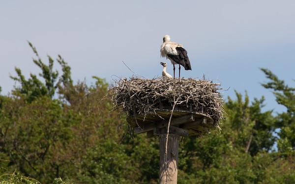 ooievaar, white stork