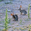 Rabbits on the trail