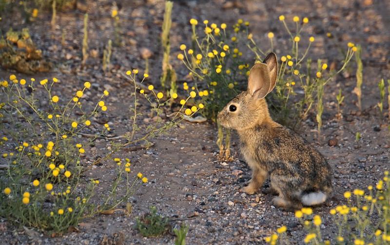 Rabbit on the desert trail