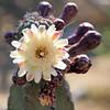 Flowering Organ Pipe