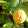 Donna's lemon tree