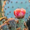 Prickly Peat flower