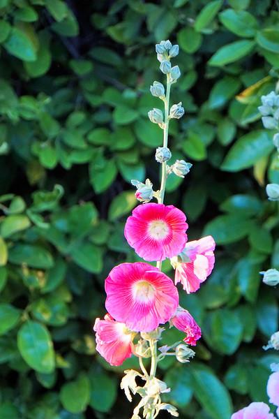 Hollyhock in.a garden