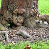 Squirrel in Centennial Park