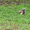 Squirrel in Centennial Park, Nashville, Tennessee