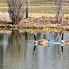 Geese at Racine Zoo