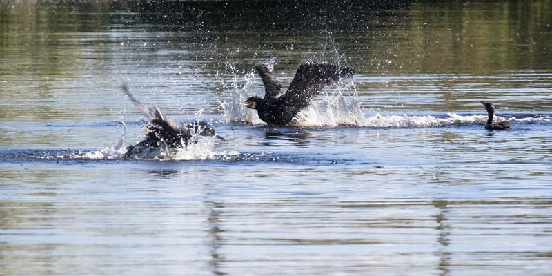 aalscholver, great cormorant