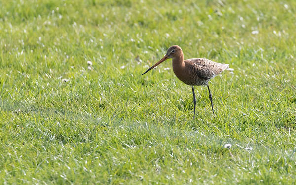 grutto, blacktailed godwit
