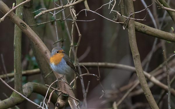 roodborst, robin