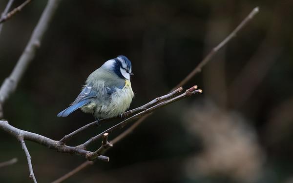 pimpelmees, blue tit