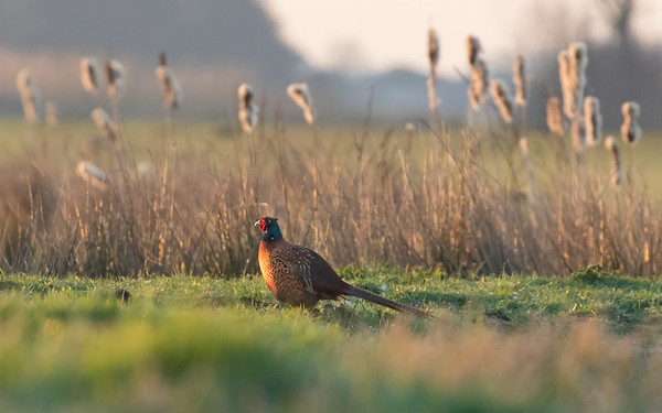 fazant, common pheasant