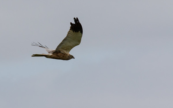 bruine kiekendief, marsh harrier