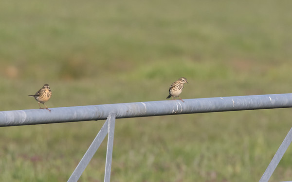 graspieper, meadow pipit