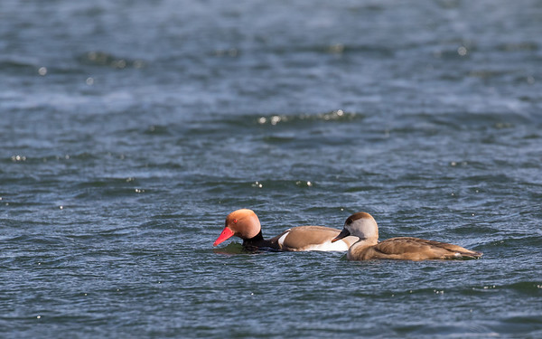 krooneend, redcrested pochard