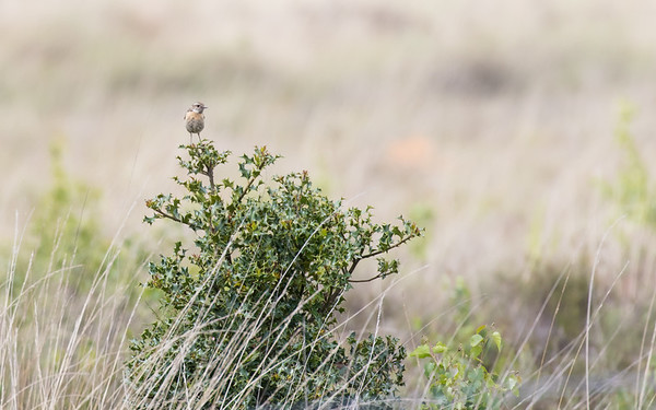 paap,  whinchat