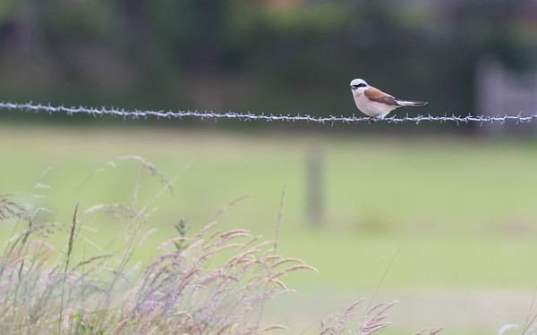 grauwe klauwier, red-backed shrike