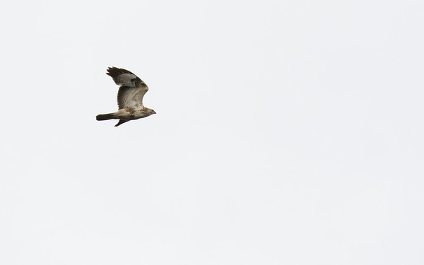 wespendief, honey-buzzard