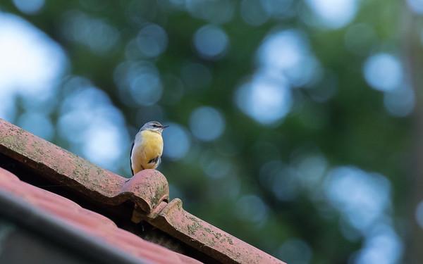 grote gele kwikstaart, grey wagtail