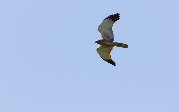 bruine kiekendief, marsh harrier