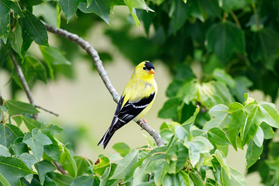 Backyard Birds - American Goldfinch (adult male)