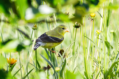Backyard Birds - American Goldfinch