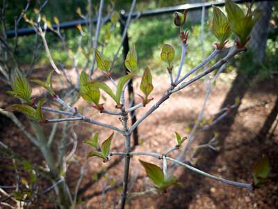 Dogwood starting to bloom