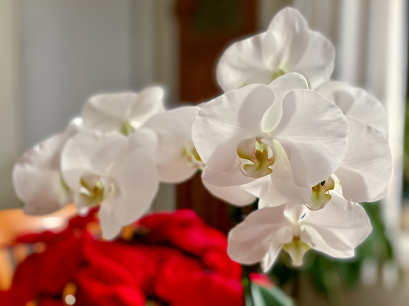 January 14 - Orchids on Dinning Table