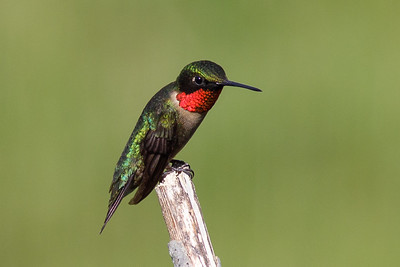 Backyard Birds - Ruby-throated Hummingbird