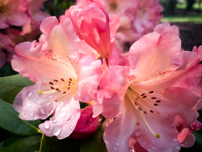 Rhododendron Flower With Rain Drops