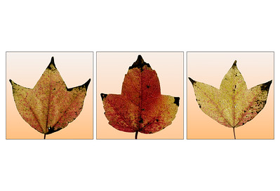 Leaf Abstract Triptyph (Trident Maple)