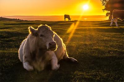 500 Lying Cow 1005-Edit-Edit.jpg