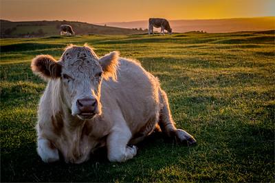 500 Lying Cow_0999.jpg