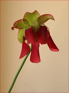 DA016,DN,COBRA LILY FLOWER