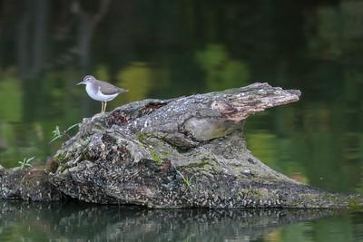 DA111,DN,Driftwood with Shorebird