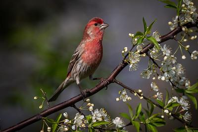 DA061,DN,Male House Finch
