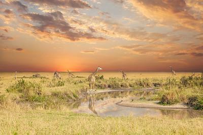 DA115,DP,Giraff-Pool-Massai-Mara-Africa