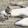 Sand Piper Walking on Beach