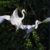 Two Egrets Flying Fighting