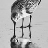 Sand Piper Eating on Beach