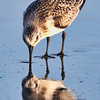 Sand Piper Walking Eating on Beach