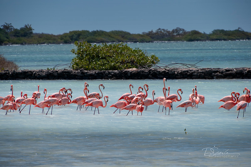 March  Caribbean Flamingos