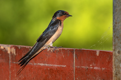 DA061,DN,Barn Swallow on barn door