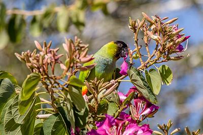 DA077,DN,Wild Nanday Parakeet