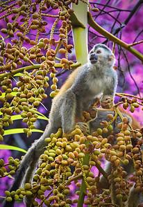 DA115,DN,Squirrel Monkey at Dusk - Costa Rica