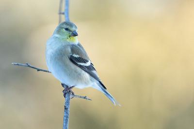 DA111,DN,American Goldfinch