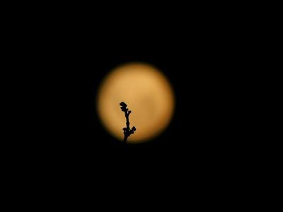 DA104,DN,Lone Twig againt the Moon