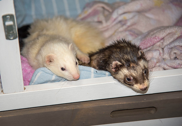 """210427  Pet of the Week<br /> James Neiss/staff photographer <br /> Sanborn, NY - Crackers and Soup are two loveable ferrets looking for a forever home. As the newspaper Pet of the Week, their adoption fee is half off. <br /> <br /> Contact the SPCA at (716) 731-4368 or  <a href=""""http://www.niagaraspca.org"""">http://www.niagaraspca.org</a> for more information on how you can give an animal their forever home"""