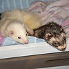 "210427  Pet of the Week<br /> James Neiss/staff photographer <br /> Sanborn, NY - Crackers and Soup are two loveable ferrets looking for a forever home. As the newspaper Pet of the Week, their adoption fee is half off. <br /> <br /> Contact the SPCA at (716) 731-4368 or  <a href=""http://www.niagaraspca.org"">http://www.niagaraspca.org</a> for more information on how you can give an animal their forever home"