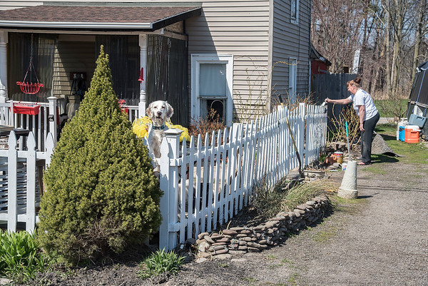 210408 Enterprise 2 James Neiss/staff photographer  Wilson, NY - Watch Dog - Winston the dog keeps a keen eye on things as Luanne Barbalate paints their West Lake Road picket fence in Wilson.