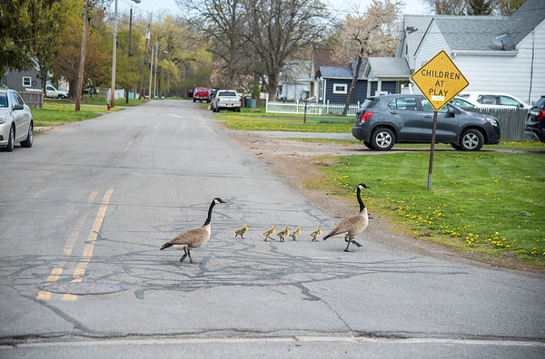 210427 Enterprise 2<br /> James Neiss/staff photographer <br /> Niagara Falls, NY - A family of Geese strike out on an adventure along Lockport Road in the Town of Niagara.